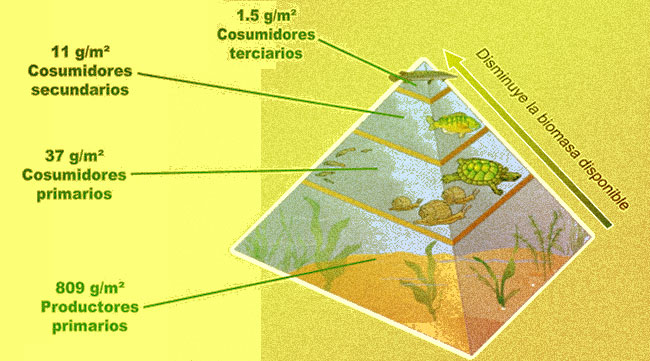 El significado de la pirámide de biomasa y energía